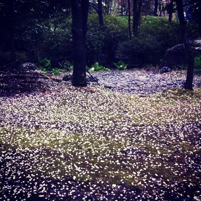 散る花 雪の如し