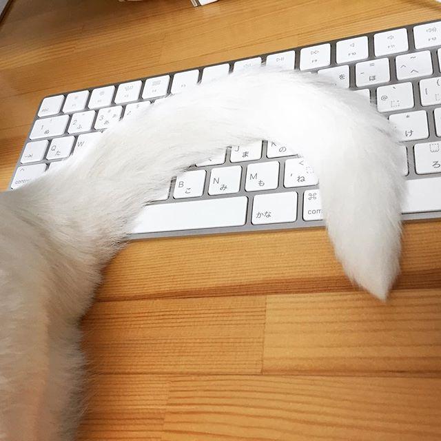 今日も今日とてお邪魔虫。#おじゃまします#キーボード拭いておきますね#いらんっちゅうの